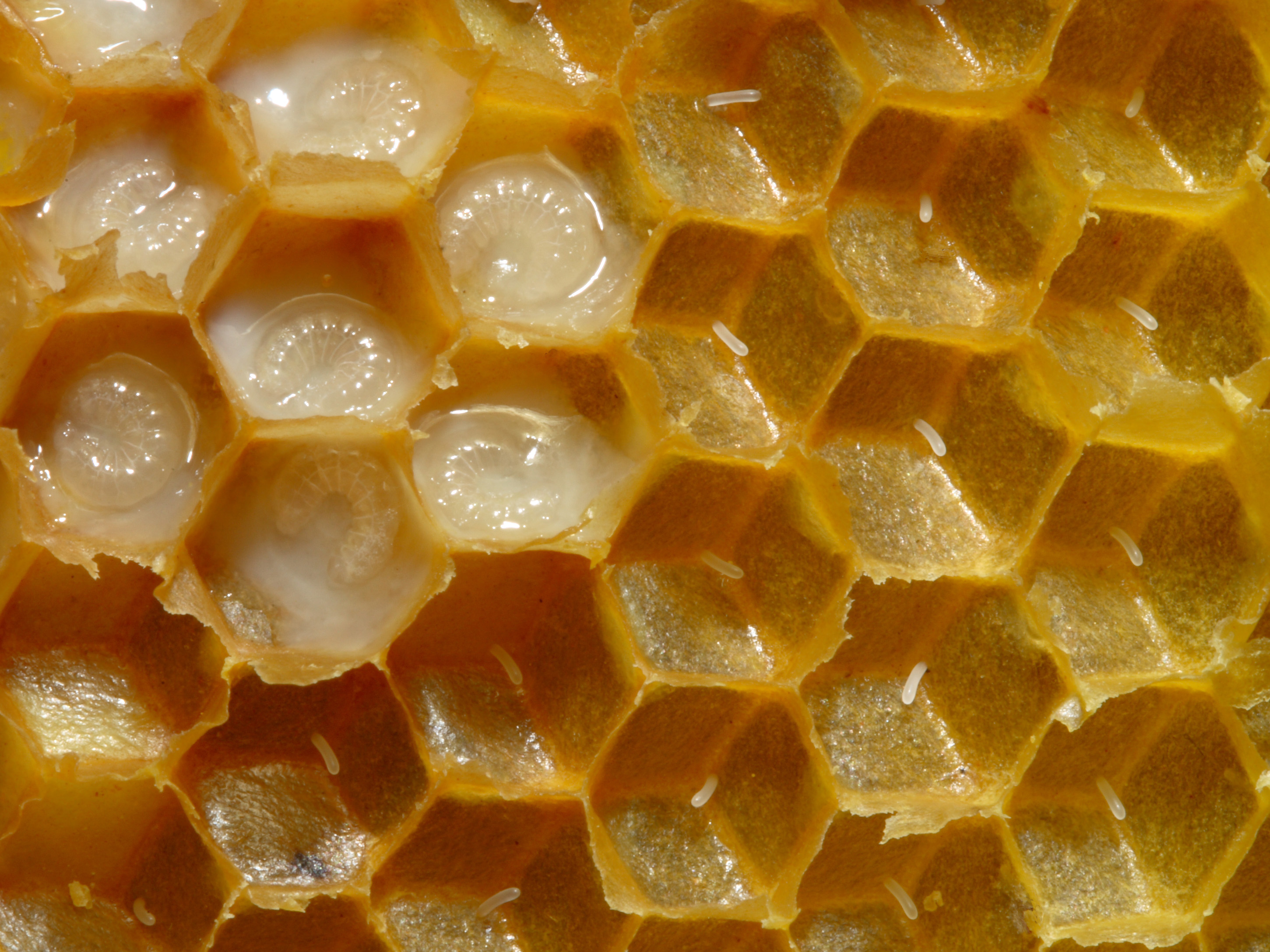 royal bee jelly for sale