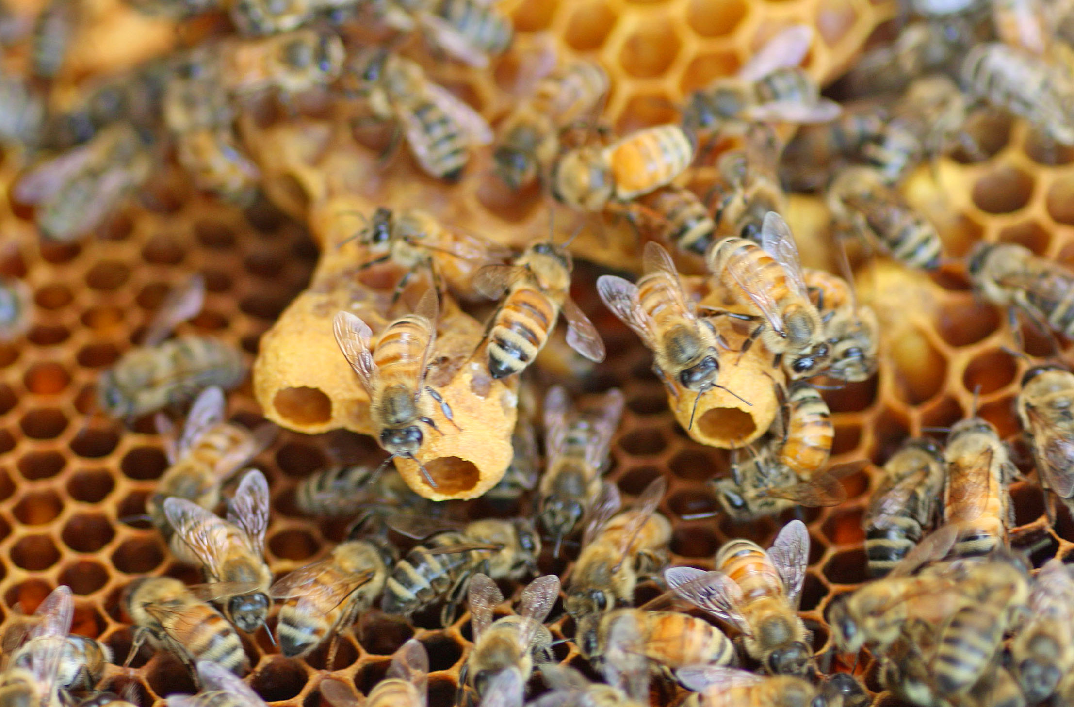 Swarm Cell Archives Honey Bee Suite
