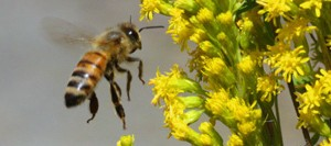 Honey-bee-on-goldenrod_4251