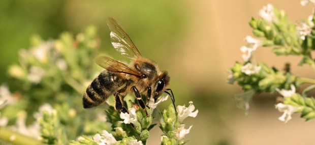 Honey-bee-on-oregano_5632