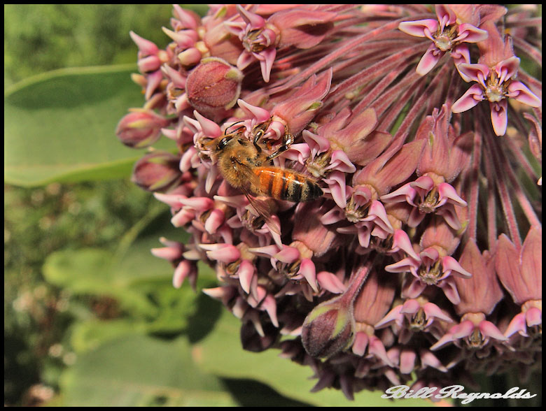 Honey bee on milkweed flower. Photo by Bill Reynolds.