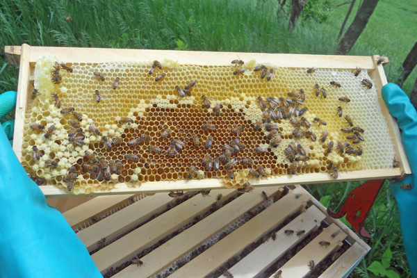 This colony is backfilling the brood nest in preparations for swarming. Photo courtesy Shady Grove Farm.