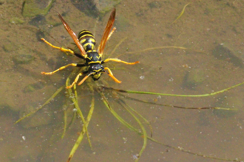 Wasp-in-a-puddle