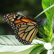 Monarch_Butterfly_Danaus_plexippus_Laying_Eggs