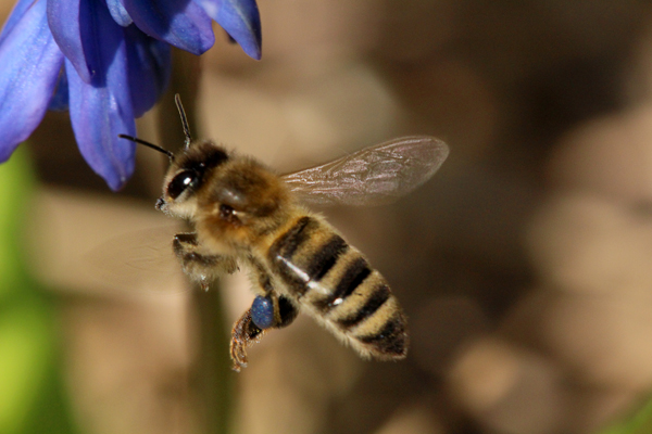 Honey-bee-on-siberian-squill-4