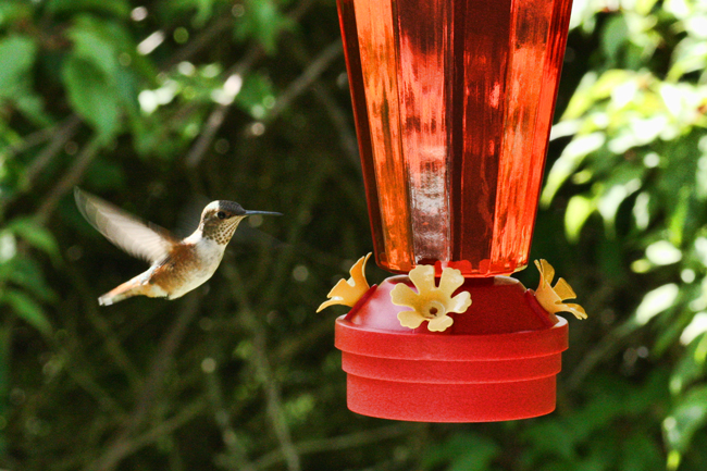 Your honey bees may prefer the hummingbird feeder if their feed is too close to the hive.