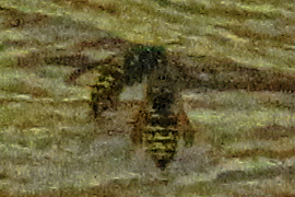 Aerial-yellowjackets-outside-of-nest