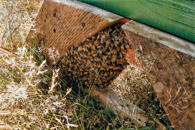 Asconding-colony-2 under hive stand