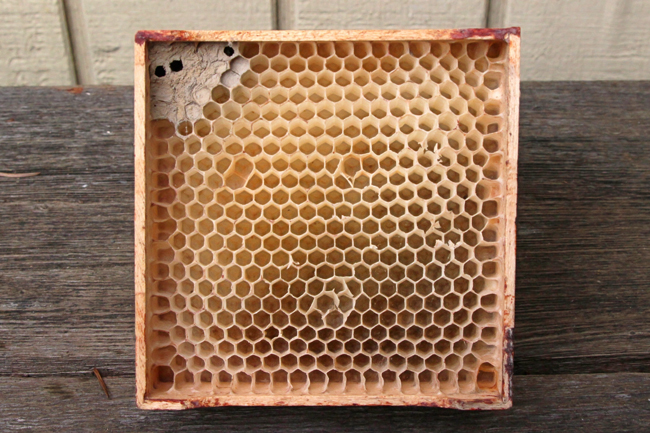 Mason bees living in a section frame. © Rusty Burlew.