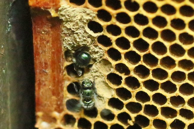 Mason bees at work in a brood frame. © Rusty Burlew.