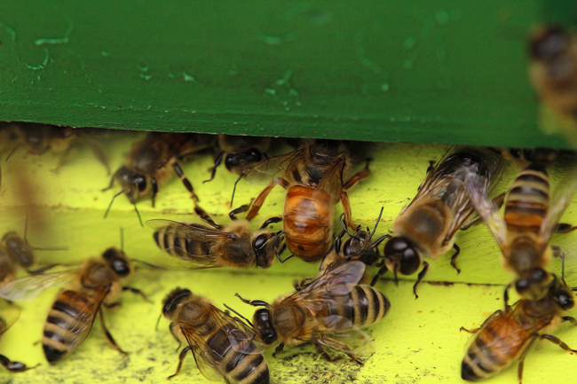 The gallery for -->... Queen Honey Bee Mating