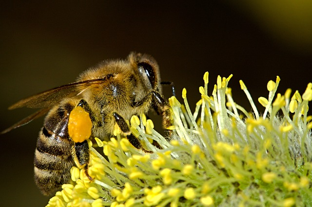 honey-bee-with-pollen