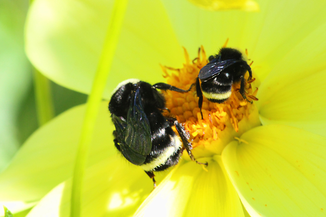 two-bumble-bees