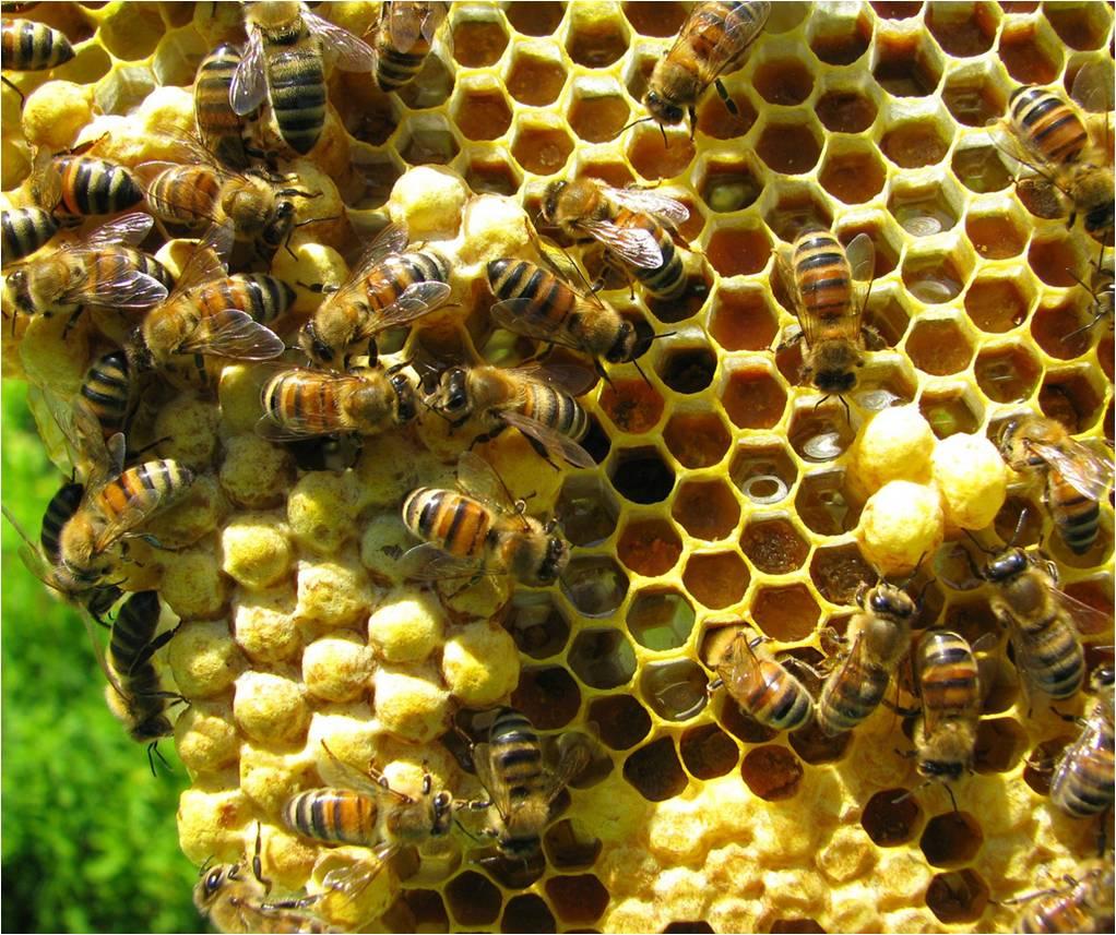 Mixed brood comb - Honey Bee Suite