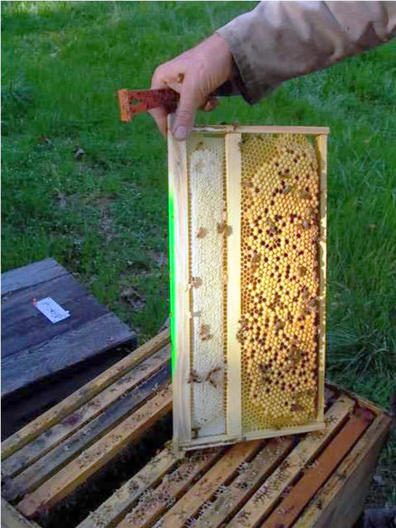Reduce Varroa Mites By Culling Honey Bee Drones
