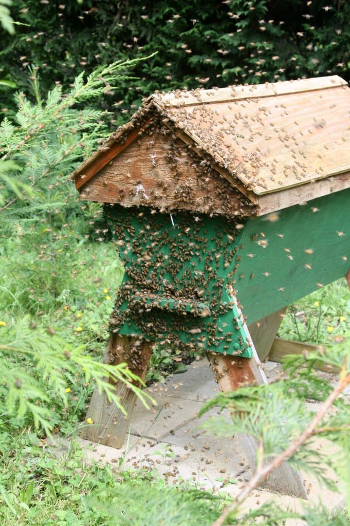 The swarm saga continues - Honey Bee Suite