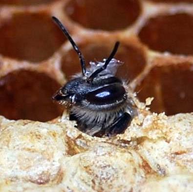 What is the real scoop on bee poop?