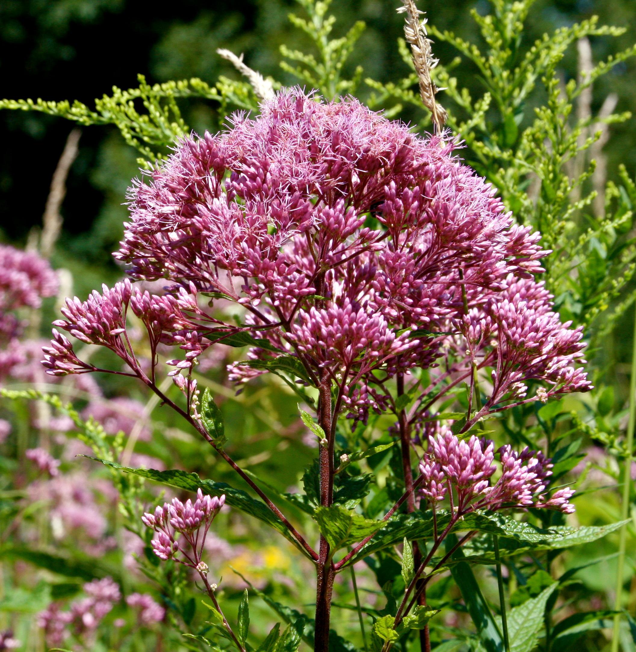 Joe pye weed for the pollinator garden honey bee suite for Joe pye weed