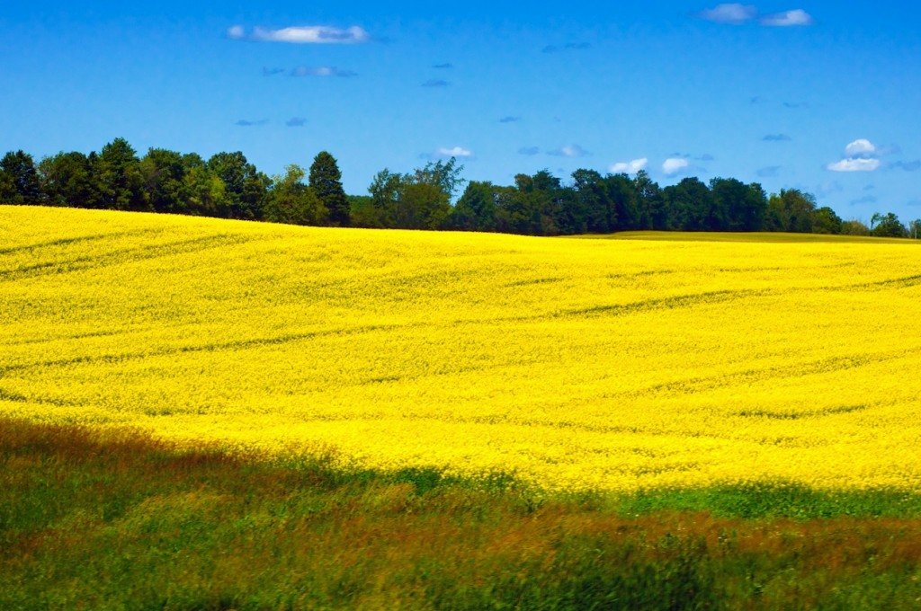 the trouble with canola honey