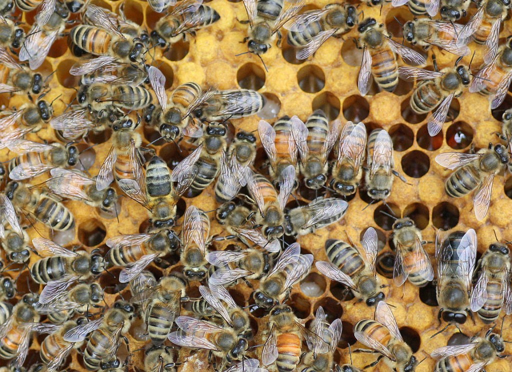 Bees of many colors share a hive.
