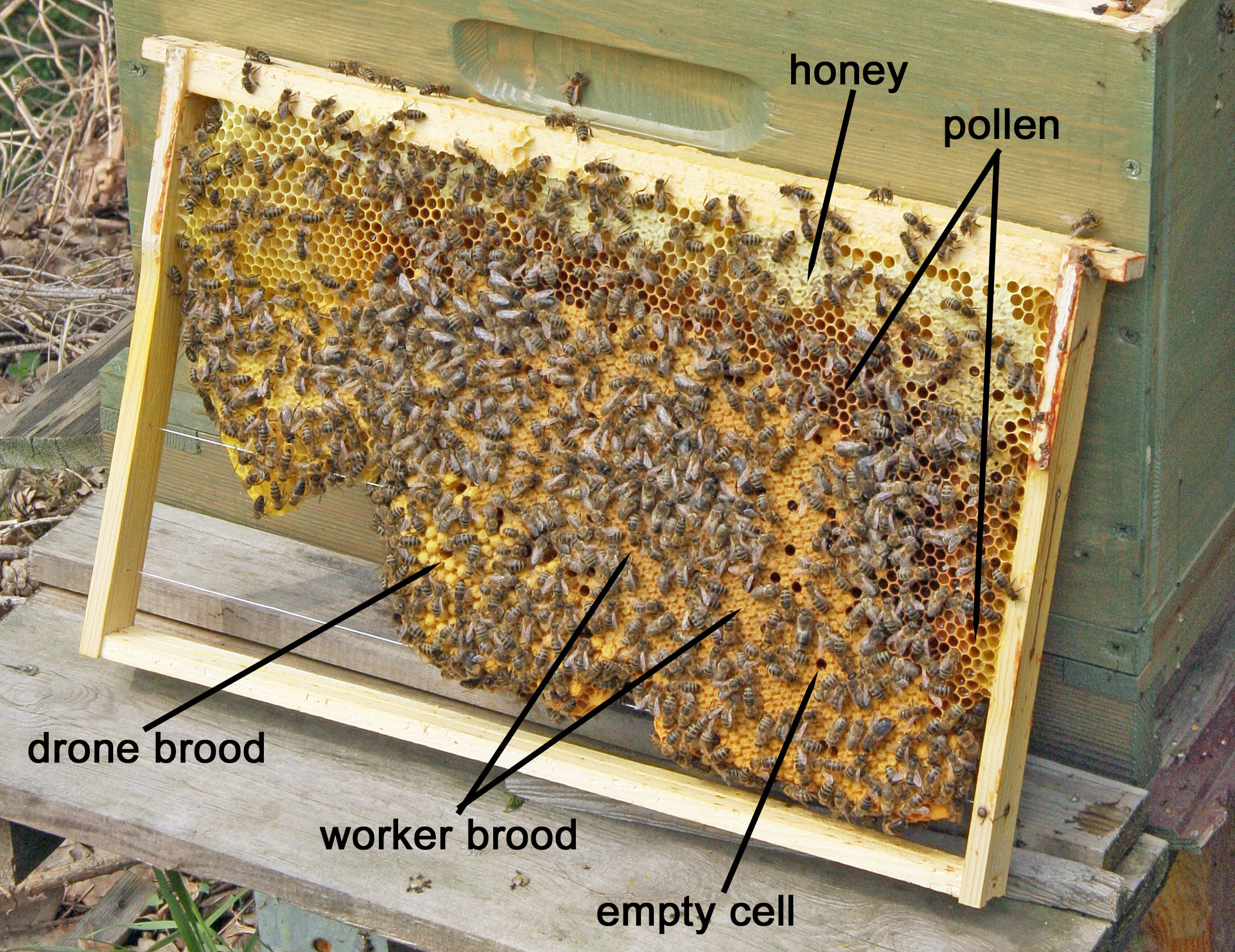 honey bees queen drone and worker with Brood Pattern on Bie in addition Whats Wrong With My Hive together with 8254457543 97077cd3cc k also Honeybee Photos further PicturesOfBee.