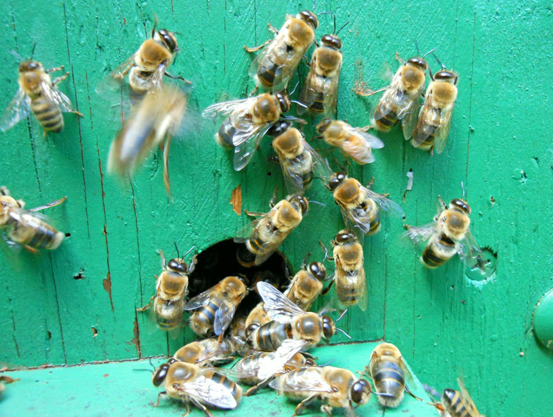 Drones just love a good top-bar hive.