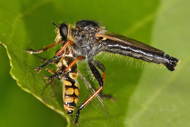 [Image: 800px-Common_brown_robberfly_with_prey.jpg]