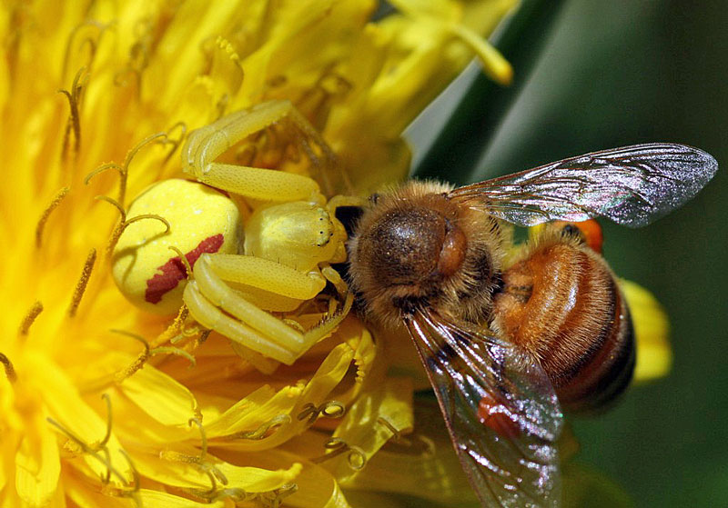 The Allure Of Decapitation Honey Bee Suite