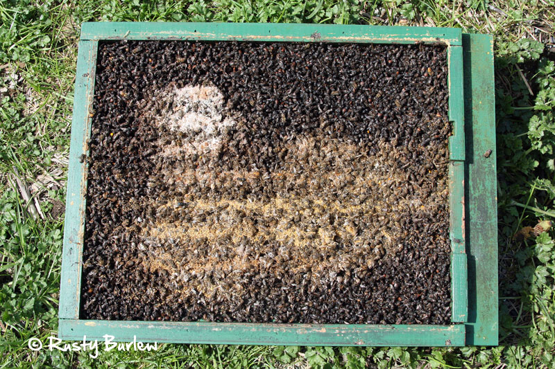 This bottom board came from a colony that overwintered successfully. Even though I removed a dozen or so bees every day, this thick mat of bees remained on the inside of the hive. The light-colored debris is from combs that were opened (bottom and right) and sugar cakes (top left).