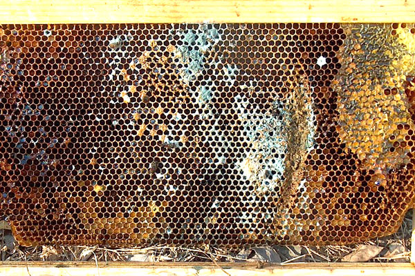 Mold in a beehive, starting on a brood frame.