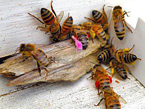 Bee with red pollen. Kelleybees.com.