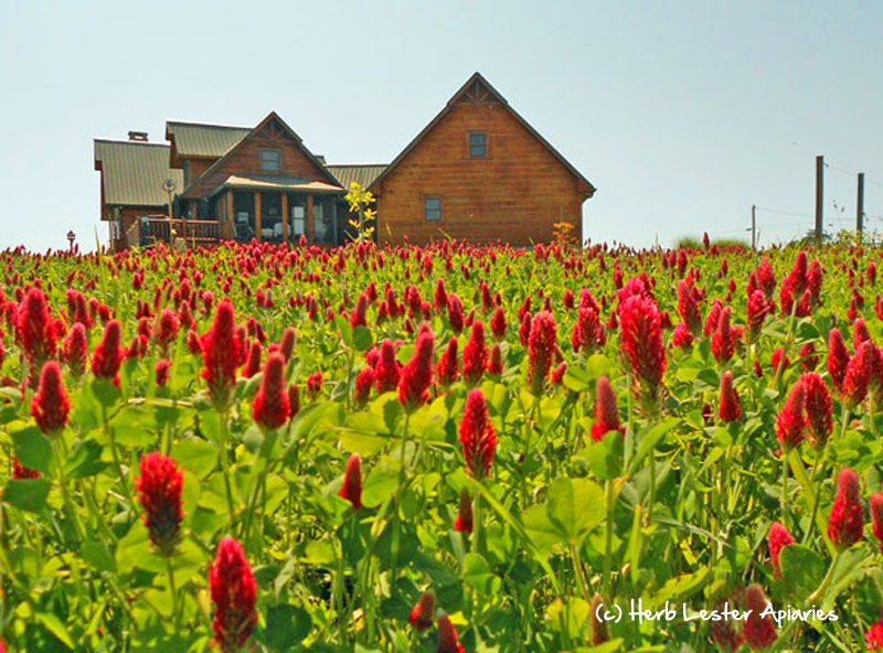 A field of crimson clover. Photo courtesy Herb Lester Apiaries.