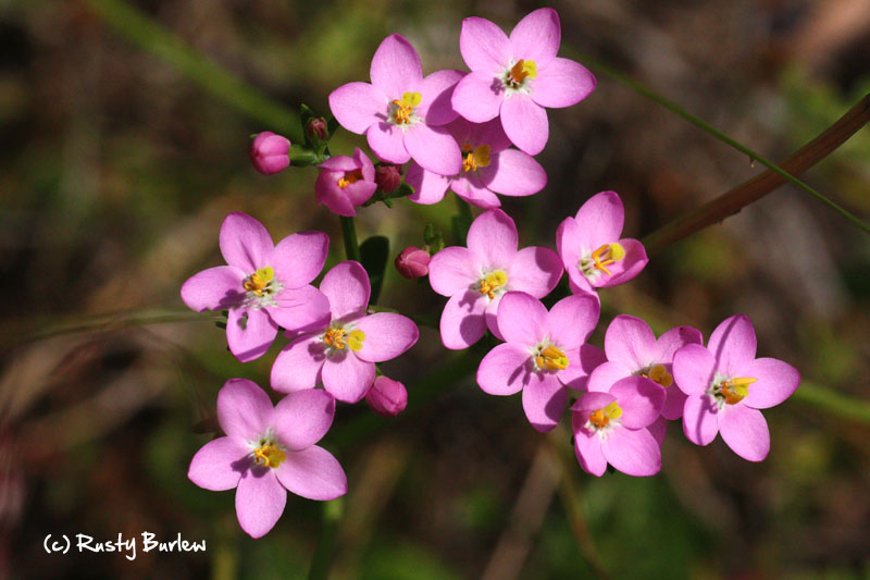 European centaury blooming in July.