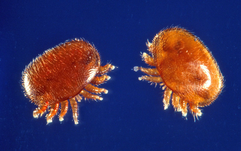 Varroa-mite-Scott-Bauer-USDA