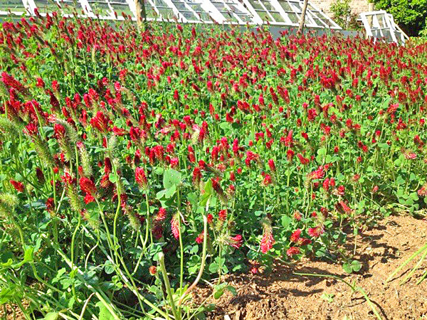 Field of crimson clover.