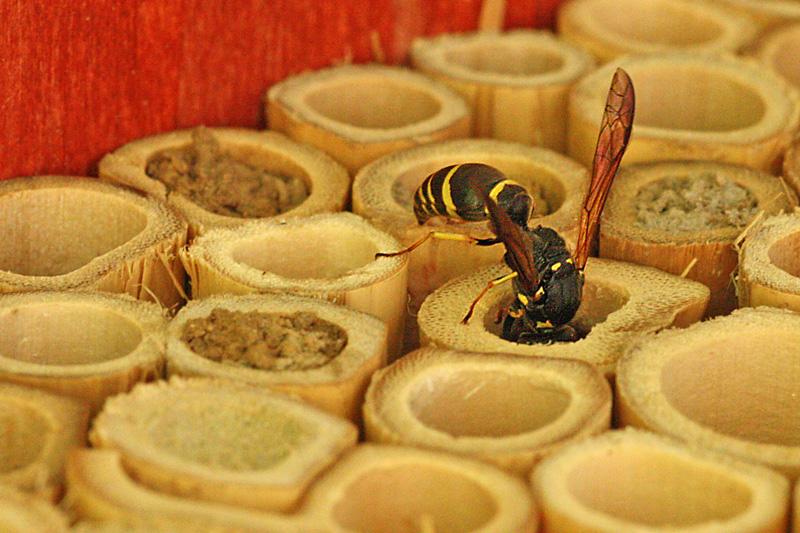 Mason-wasp