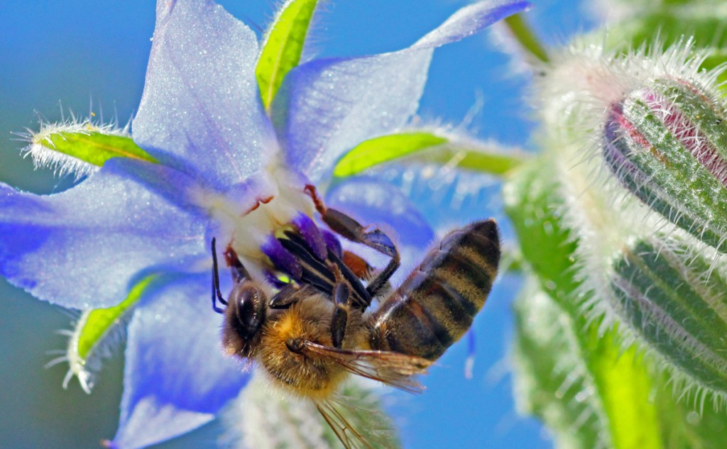 Bee-on-borage