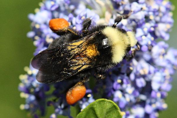 Bumble-bee-blocky-build