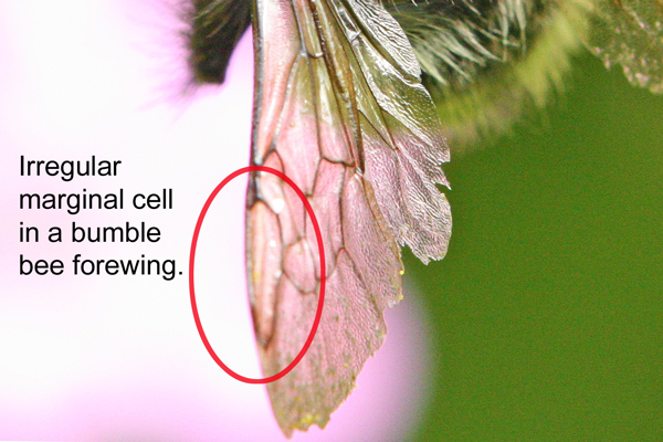 Bumble-bee-marginal-cell