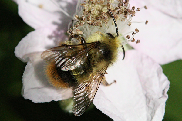 Bumble-bee-on-blackberry