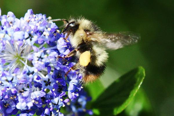 Hairy-bumble-bee