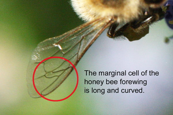 Honey-bee-marginal-cell