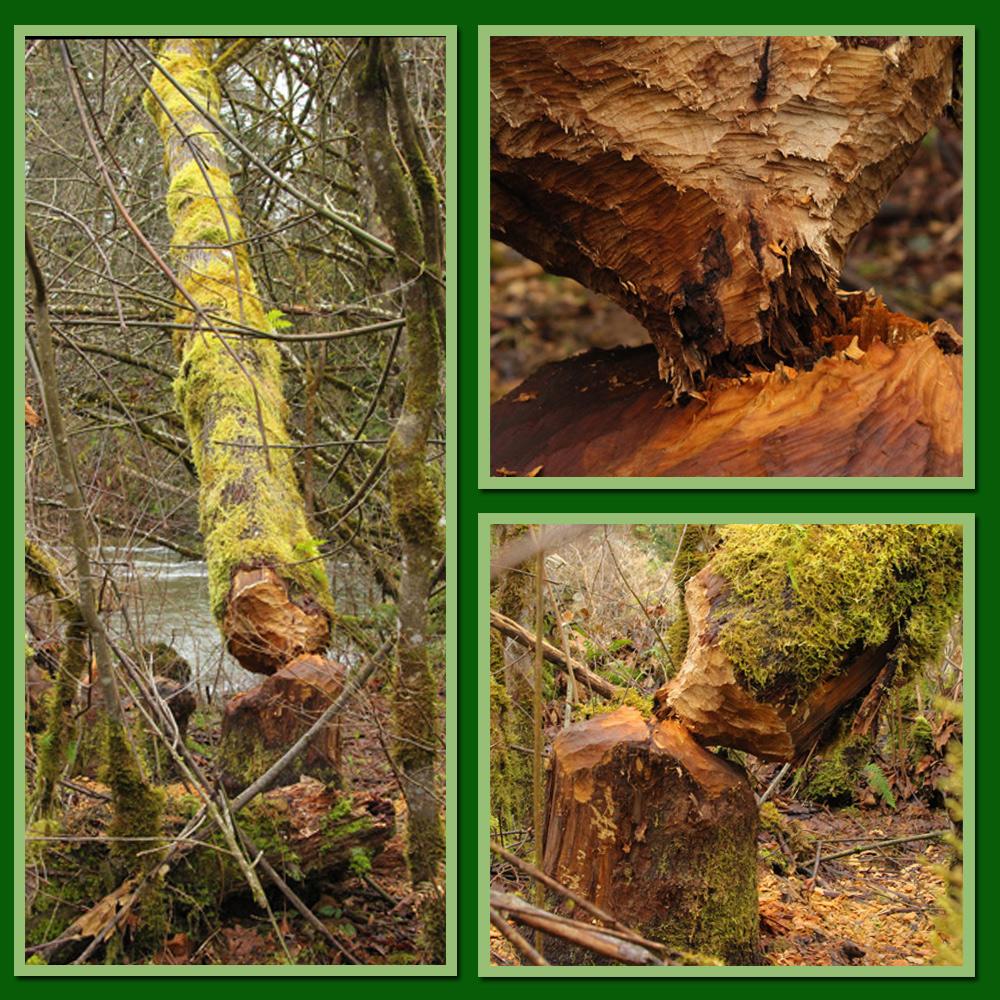 Beaver-tree-storyboard
