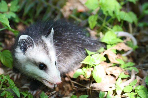 Opossum-baby