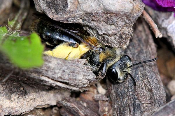 Andrena-in-bark