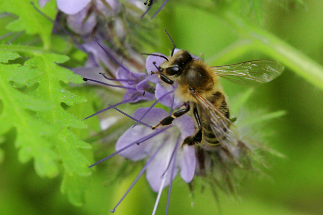 A honey bee rests her wings while she is sitting on a flower. Foraging honey bees make a characteristic buzz, pause, buzz, pause as they travel from bloom to bloom. © Rusty Burlew.