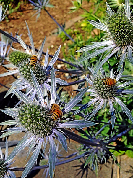 Honey bees on thistle. © Trent B. Amonett.