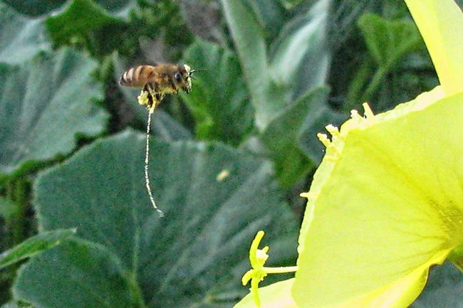Bee-on-primrose-Morris-Ostrofsky-2