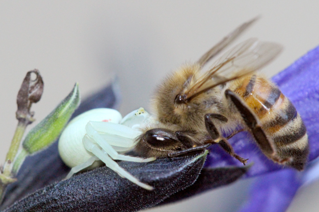 Crab spider with honey bee on salvia.