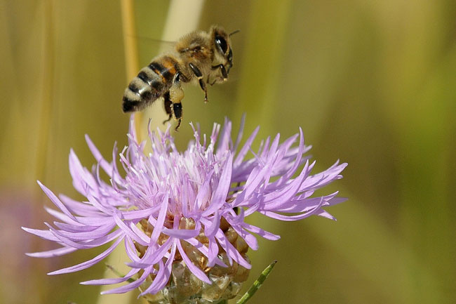 Honey bee with pollen. Pixabay photo.